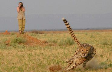 Cheetah-chasing