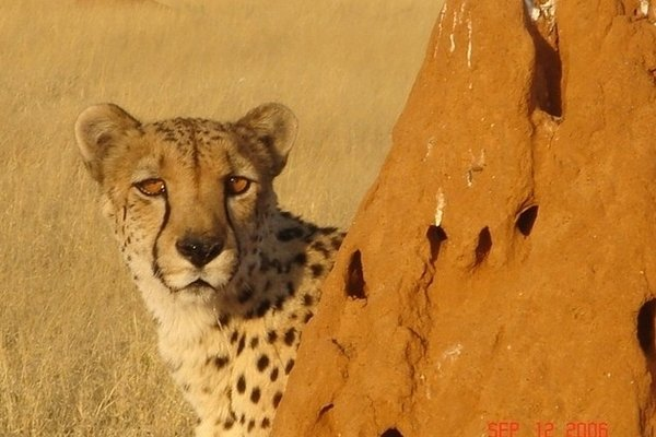 cheetah conservation namibia